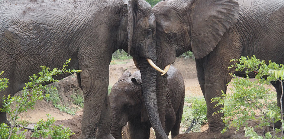 Elephants never cease to amaze; their bonds are truly remarkable.