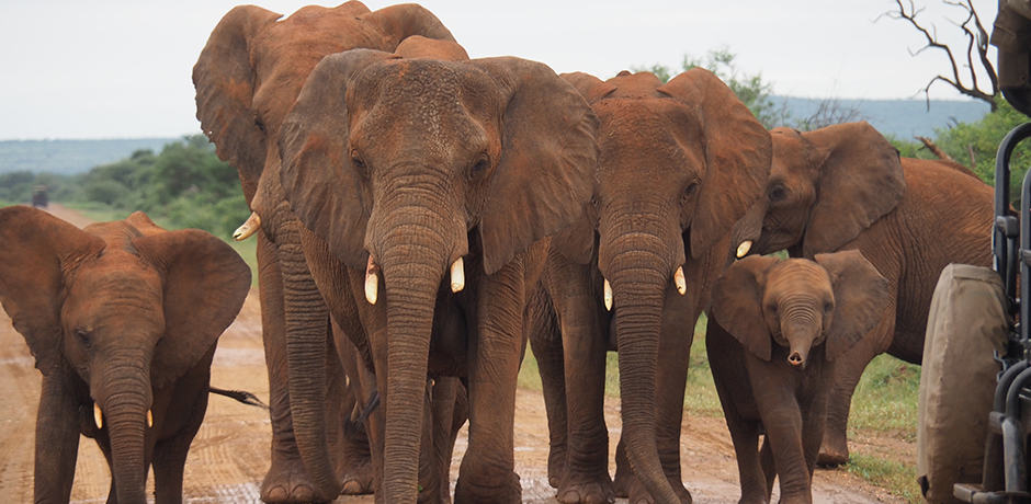 An amazing herd of elephants gather around our vehicle in Madikwe