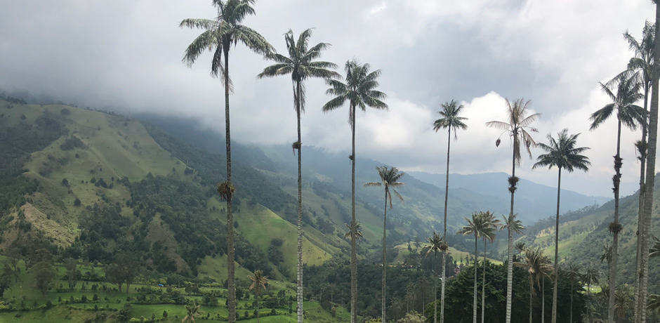 The Cocora Valley in Colombia's coffee region is home to the tallest palm trees in the world.
