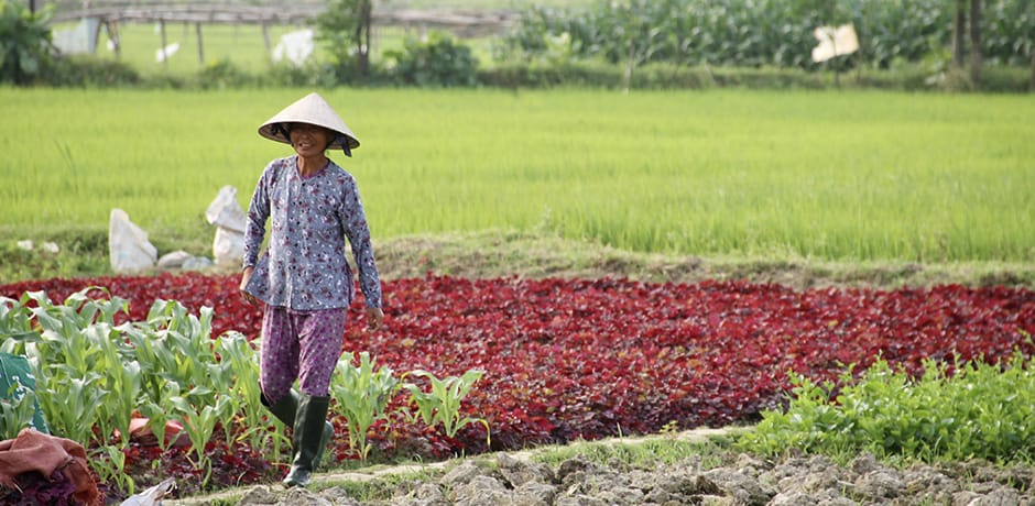 Farming is still the main source of income for most families in the rural areas outside of Hoi An