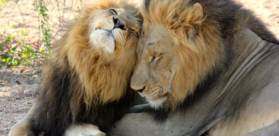 Lions in South Africa, photographed by Destinations Editor Emma Pierce.
