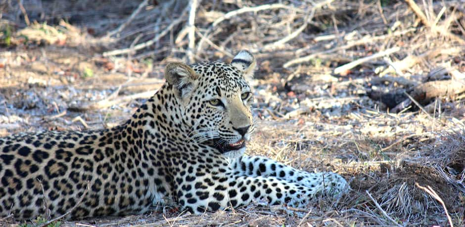 A leopard in South Africa, photographed by Destinations Editor Emma Pierce.