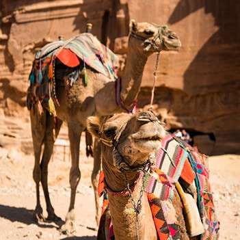 indagare departures egyptian camels