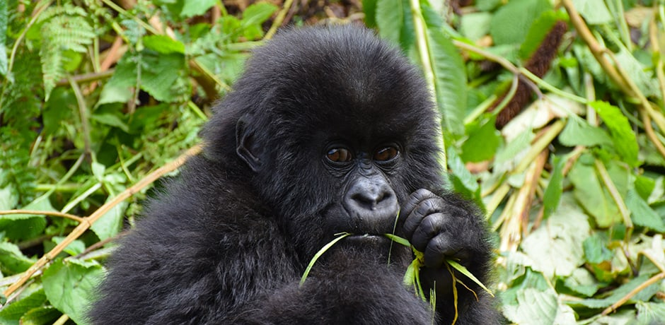 A baby gorilla munches on a snack