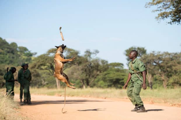 A dog and trainer from Working Dogs for Conservation in Tanzania