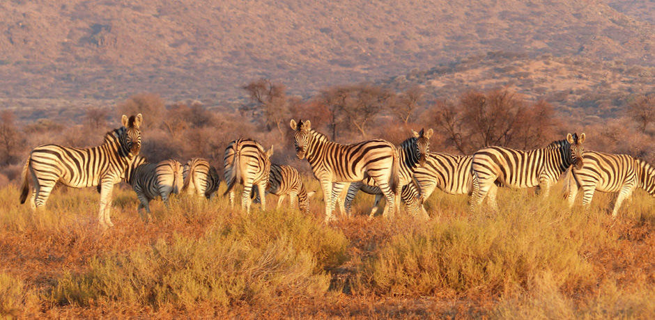 Zebras in Namibia.