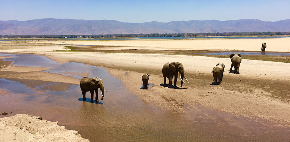 Elephants in the Zambezi flood plains at Mana Pools, Zimbabwe. Photo by Eliza Harris