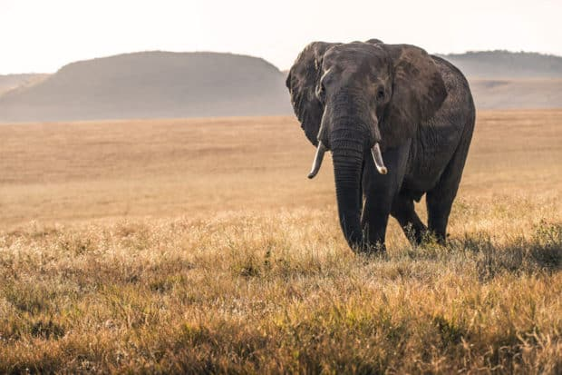 An elephant in the Lewa conservancy, Kenya, Courtesy David Clode