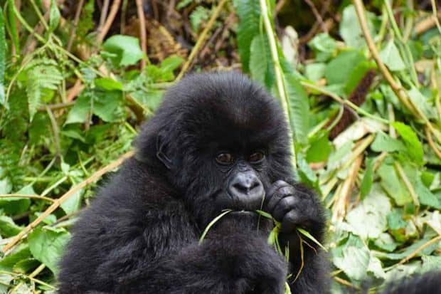 A baby gorilla in Rwanda. Photo by Porco Rosso