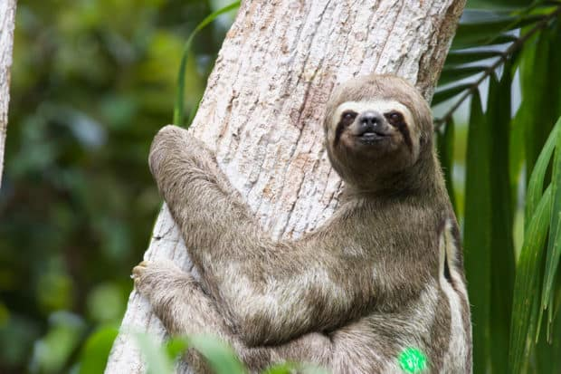 A sloth in the Amazon Rainforest