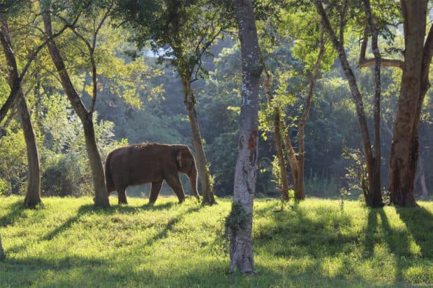 Elephant in the sanctuary at the Four Seasons Tented Camp, Chiang Rai, Thailand
