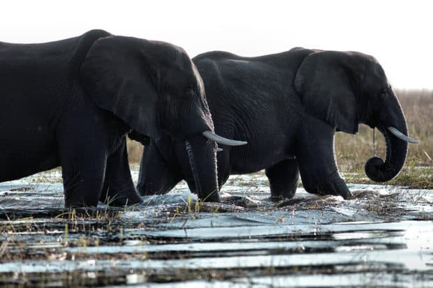 Elephants on the Okavango Delta